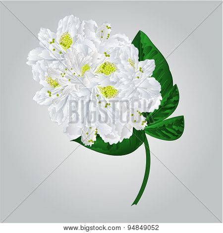 Twig White Rhododendron  Vector