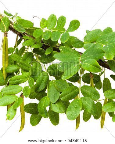 Branch Of Yellow Acacia (?aragana Arborescens)