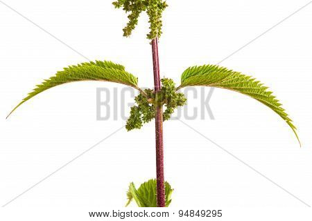 Leaves And Flowers Of The Nettle