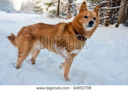 Finnish Spitz In Winter Forest