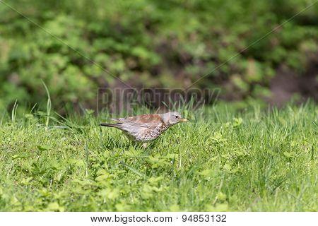Snowbird On Grass