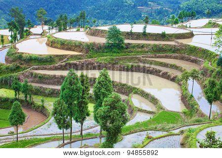 Rice fields on terraced in surice,