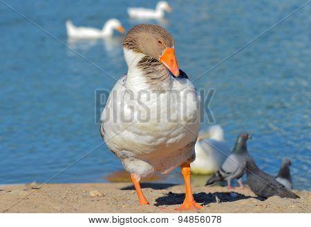 Goose standing near blue lake