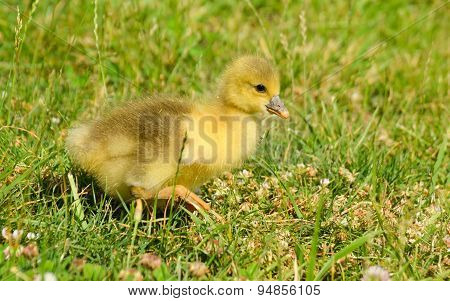 Little yellow gosling walking on green grass