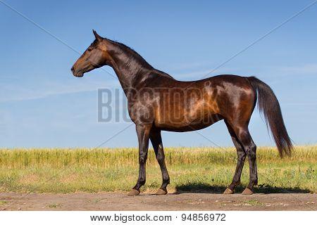 Bay horse exterior