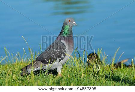 Pigeon standing on green grass