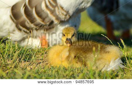 Little yellow gosling on green grass