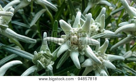 Group Of Edelweiss (leontopodium Alpinum)