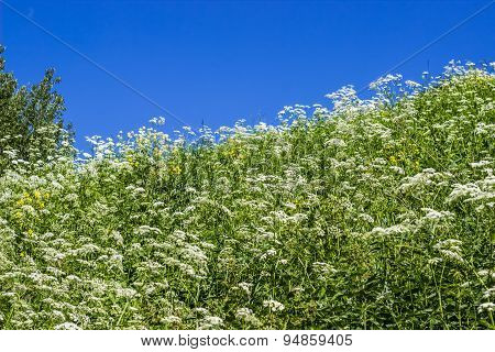Inclined Slope With Green Grass, White Flowers And Blue Sky