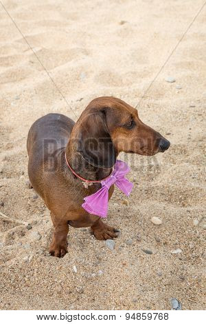 Red Dachshund Dog On The Beach