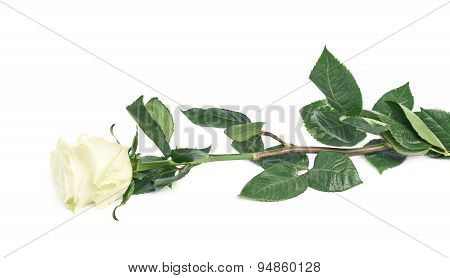 Single rose over the white surface