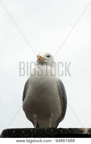 Seagull resting on roof