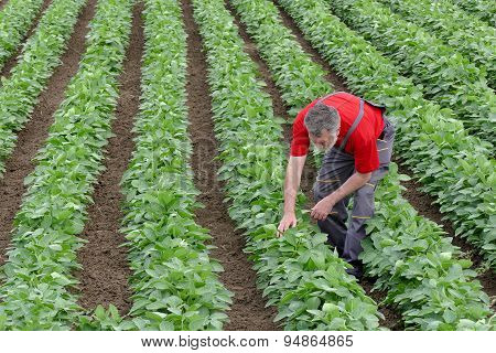 Farmer Or Agronomist In Soy Bean Field Examine Plant