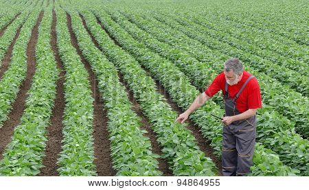 Farmer Or Agronomist In Soy Bean Field Pointing
