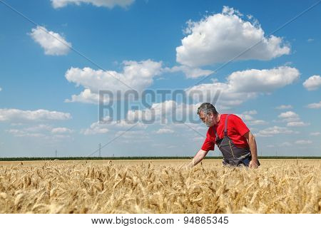 Agricultural Scene, Farmer Or Agronomist Inspect Wheat Field