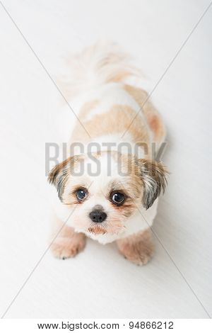 Shih Tzu Puppy Posing On White Background.