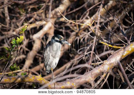 Yellow-crowned Night Heron Sitting In A Tangle Of Trees