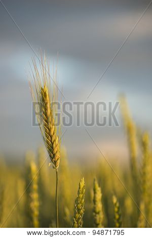 Wheat In Field