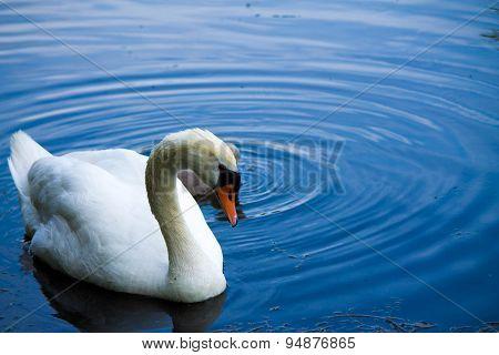 Swan 10