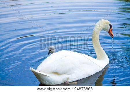 Swan 9