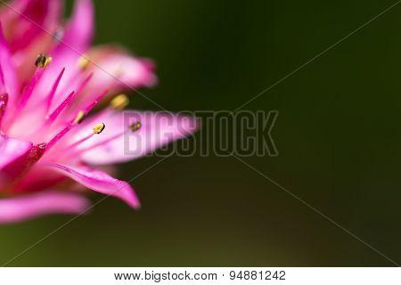 Beautiful Blooming Sedum, Macro
