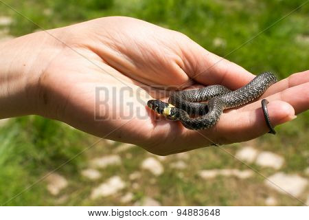 Small Grass Snake In Human Hand