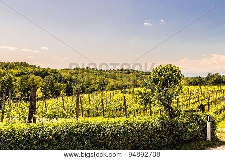 Grapevine Field In The Italian Countryside