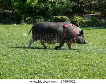 Vietnam Pig.