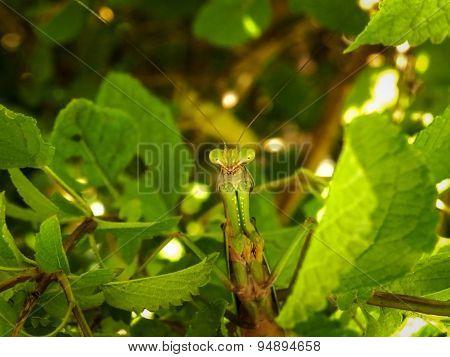 Praying Mantis waiting...