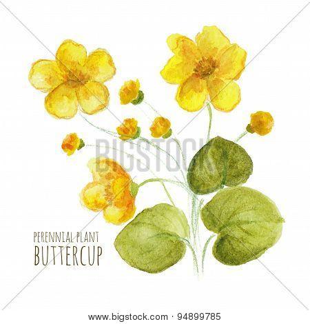 Buttercup perennial flower