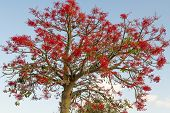 stock photo of glorious  - The Australian Brachychiton acerifolius commonly known as the Illawarra Flame Tree flowering in summer on a bare leafless tree is a glorious sight with its bright red bell shaped blooms - JPG
