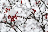picture of rowan berry  - Clusters of red rowan berry under the snow - JPG