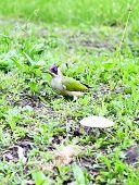 stock photo of pecker  - Green Woodpecker Adult   - JPG