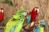 stock photo of green-winged macaw  - Colorful Macaws on the branch in the jungle - JPG