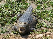 stock photo of wetland  - Large caiman basking in the sun in the Pantanal wetlands of Brazil - JPG