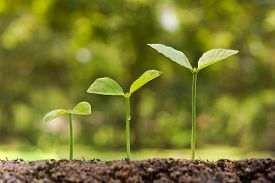 stock photo of germination  - trees growing on fertile soil in germination sequence with green background - JPG