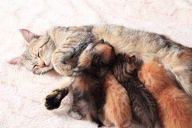 image of teats  - Cat nursing her little kittens - JPG
