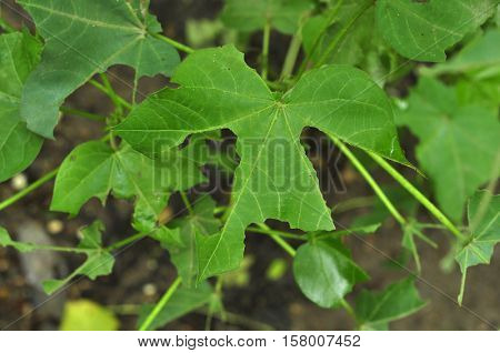Close up of cotton plant leaves infected by pests. Pests are getting immune to pesticide due to excess use of it in farming.