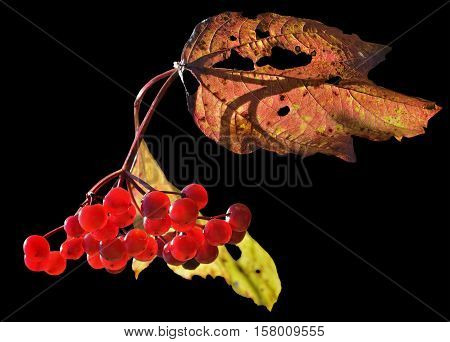 A close up of the berries of arrow-wood. Isolated on black.