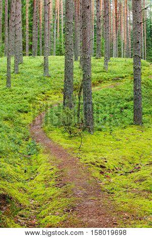 Pathway through dense conifer forest