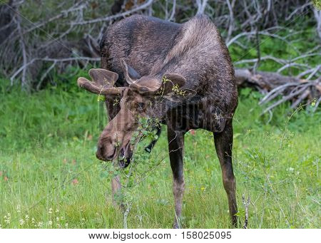Male Moose Takes a Bite of Small Tree While Grazing in Clearing