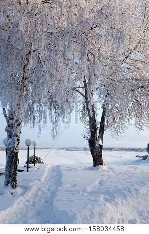 Birches in hoar-frost on the coast near north river in a frosty sunny day in winter.