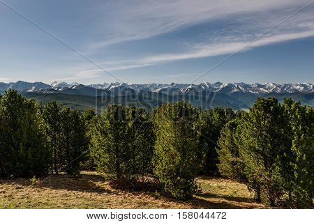 The picturesque view of the green cedar on the background of snowy peaks mountain slopes covered with forest and blue sky