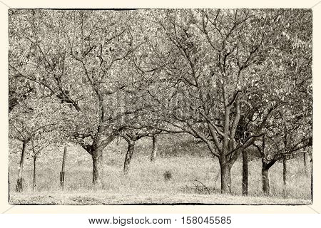 Orchard trees in sepia tone. Stylized vintage photography with scraped frame.