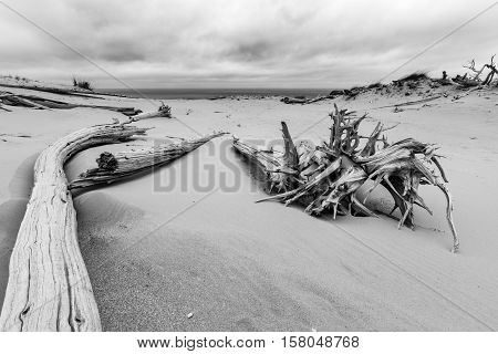 Ghost Forest amid Sleeping Bear Dunes in Northern Michigan. Lake Michigan can be seen in the background.