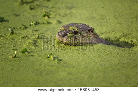 River Otter Swimming in Green Mossy Water, Color Image