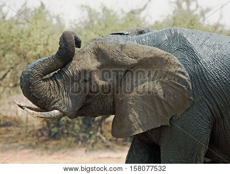 close up of an elephant with trunk curled and elevated in the air in Hwange National Park, Zimbabwe, Southern Africa