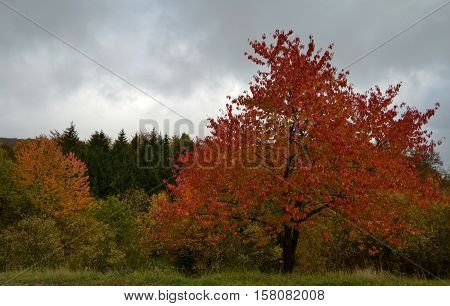 Beautifully proportioned deciduous tree that has to fall to red-colored foliage contrasts with the dark, overcast skies.