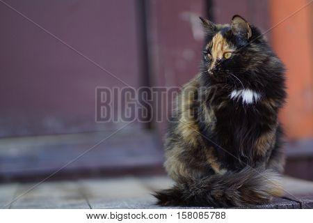 Beautiful calico cat. Lapjeskat. Tricolour. Tortoiseshell-and-white. Stray homeless pet