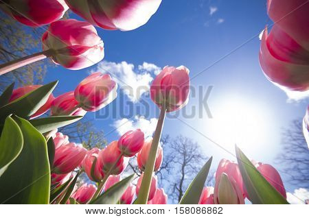 low angle view of blooming red tulips against a blue sky
